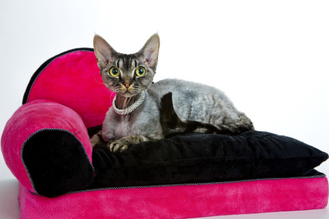 Devon Rex on the couch wallpaper