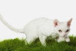 Devon Rex on the grass