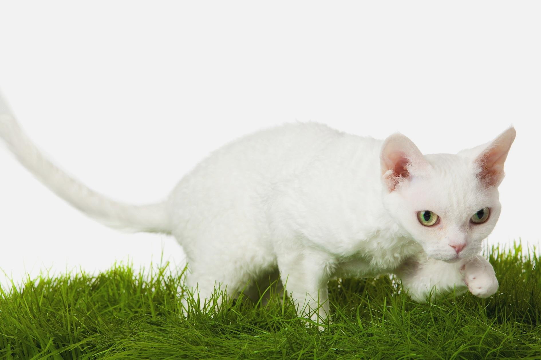 Девон-рекс на траве фото