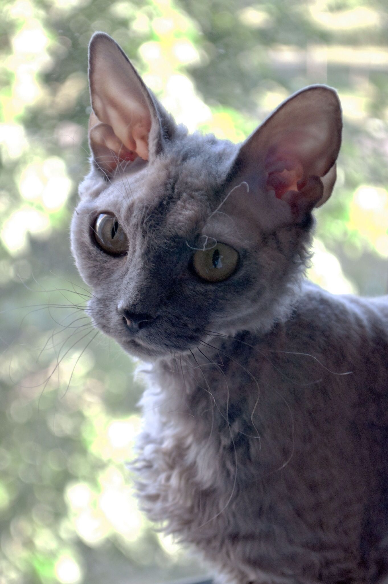 Devon Rex wallpaper