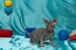 Donskoy or Don Sphynx blue background