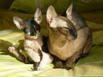 Donskoy or Don Sphynx family