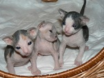Donskoy or Don Sphynx kittens