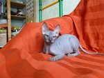 Donskoy or Don Sphynx on the couch