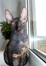 Donskoy or Don Sphynx on the windowsill