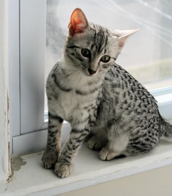 Котенок Египетского Мау фото
