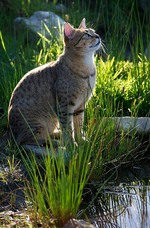 Egyptian Mau near water