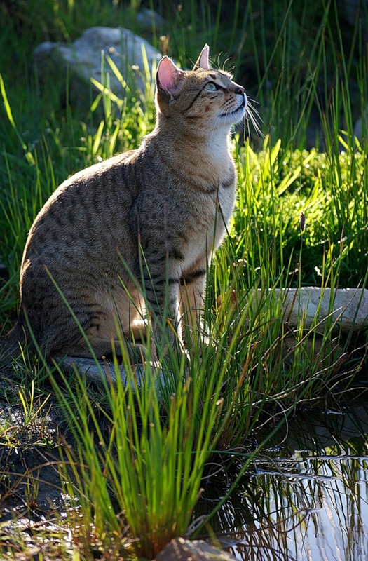 Egyptian Mau near water wallpaper