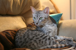 Egyptian Mau on the couch