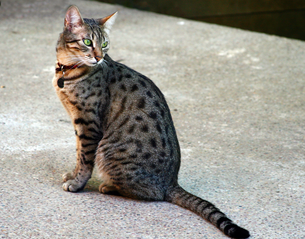 Egyptian Mau wallpaper