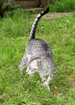 Egyptian Mau walking