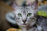 Egyptian Mau with green eyes