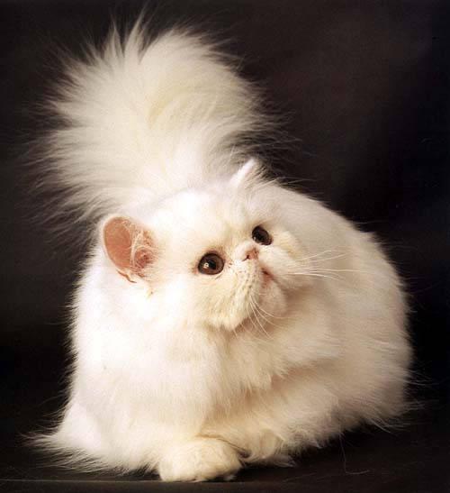 Элегантная Персидская кошка фото