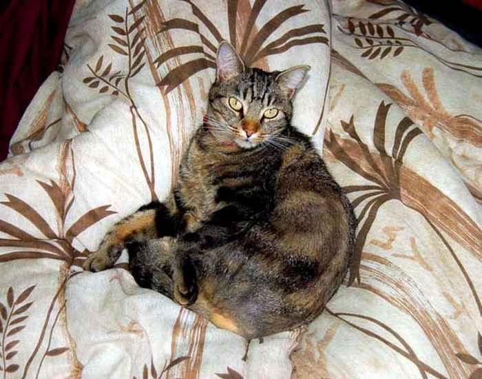 Европейская короткошерстная кошка на кровати фото