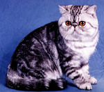 Exotic Shorthair blue background