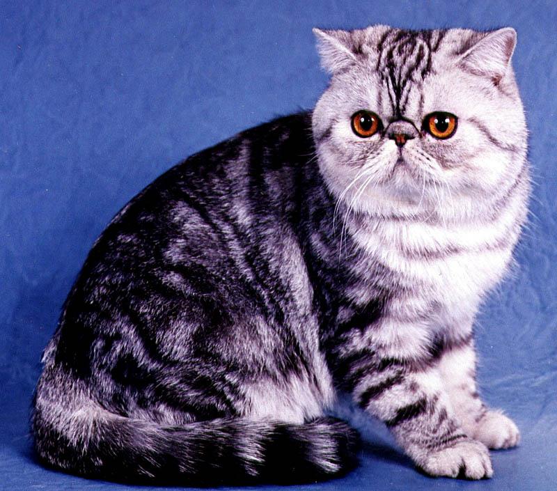Экзотическая короткошерстная кошка на синем фоне фото