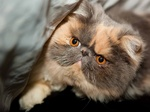 Exotic Shorthair face