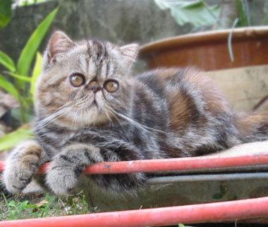 Экзотическая короткошерстная кошка во дворе фото