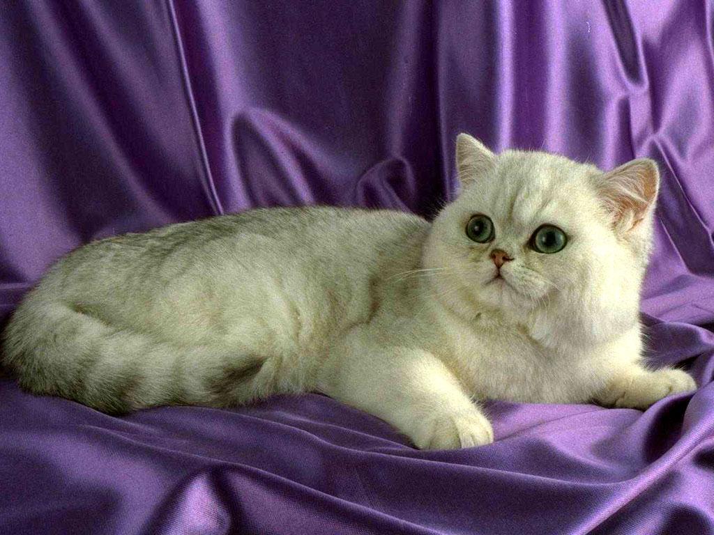 Exotic Shorthair kitten portrait wallpaper