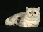 Exotic Shorthair portrait
