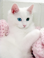 Fabulous Turkish Angora