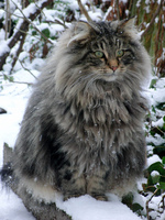 Fluffy Norwegian Forest Cat