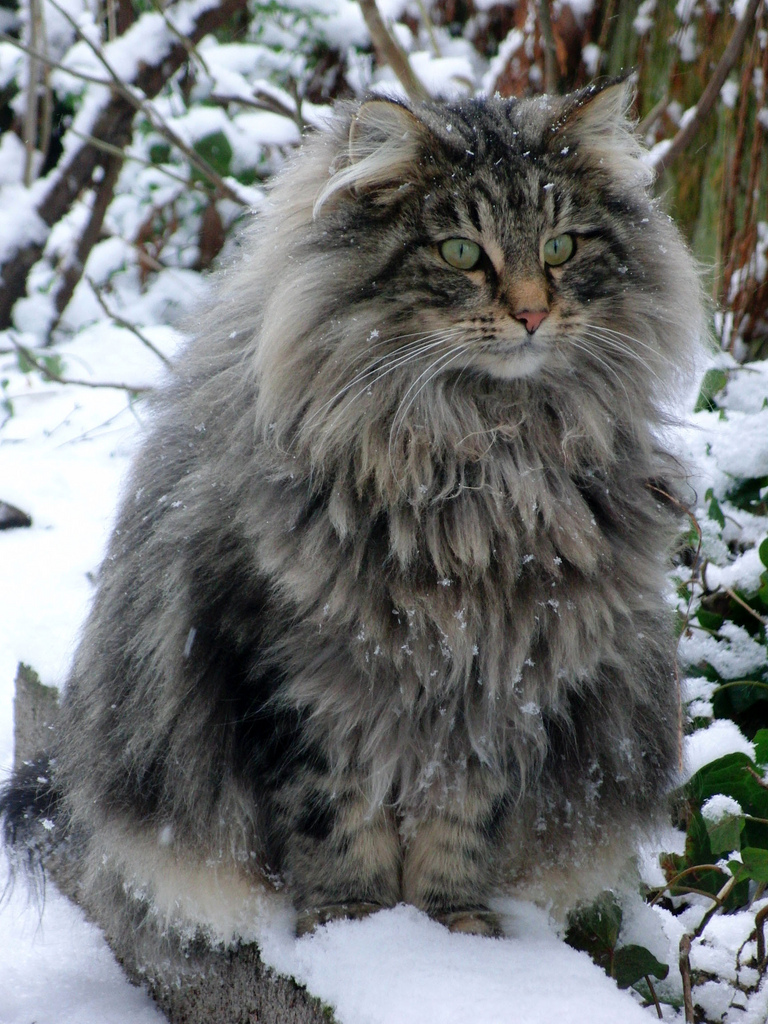 norwegian forest cats4