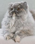 Fluffy Persian