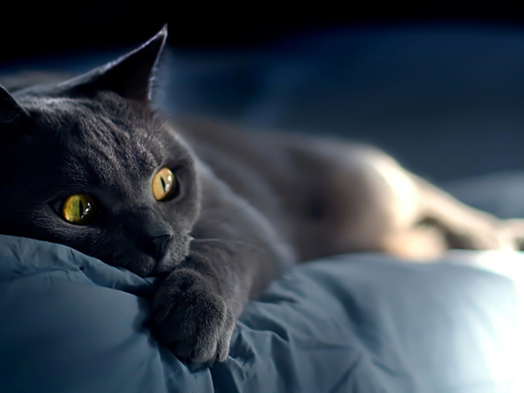 Frightened Chartreux  wallpaper