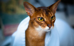 Funny Abyssinian cat