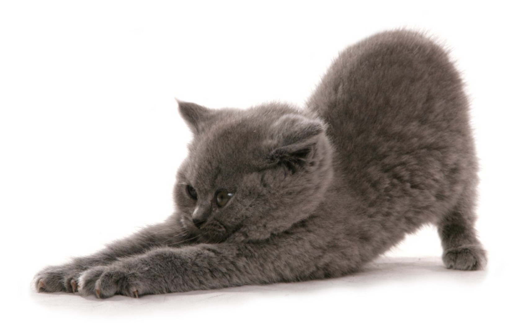 Funny British Shorthair kitten wallpaper