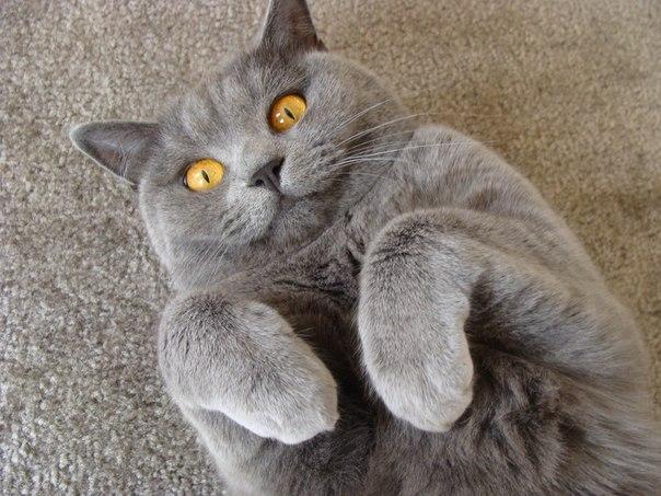 Смешная Британская короткошерстная кошка  фото