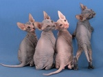 Funny Donskoy or Don Sphynx cats