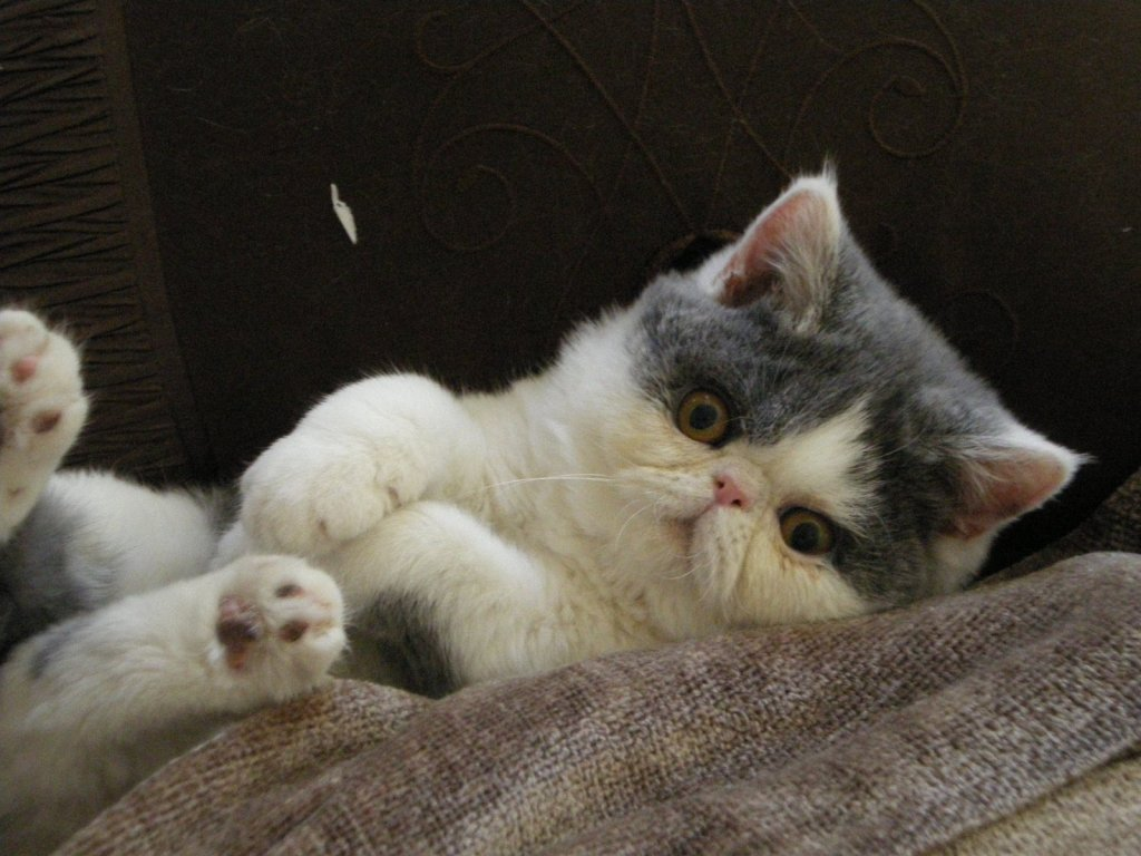 Funny Exotic Shorthair kitten wallpaper