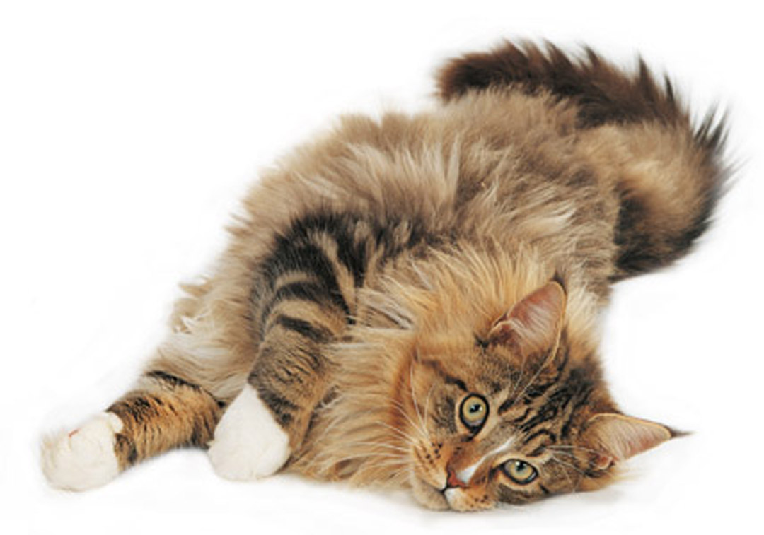 Funny Maine Coon wallpaper