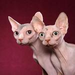 Funny Minskin cats