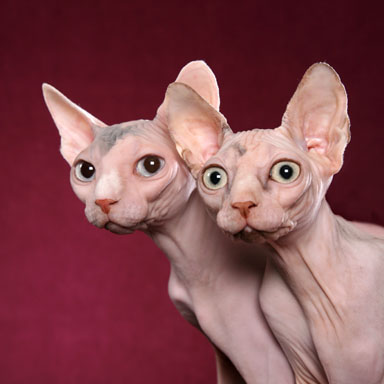 Funny Minskin cats wallpaper
