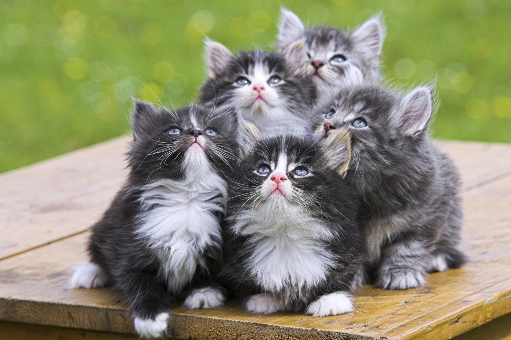 Funny Norwegian Forest Cat kittens wallpaper