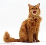Забавный кот породы Сомали