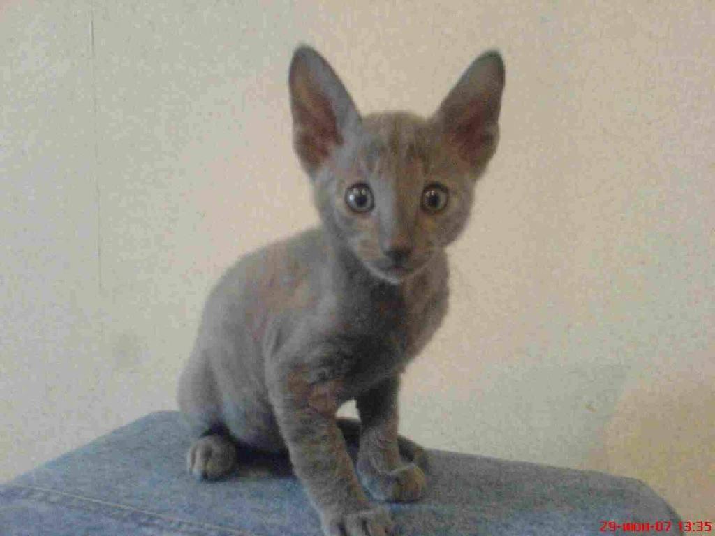 Grey Cornish Rex kitten wallpaper