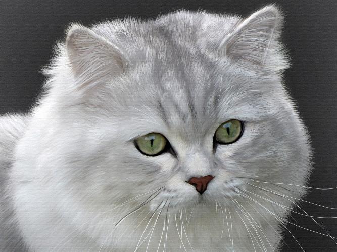 Морда кота Хайлендер фото