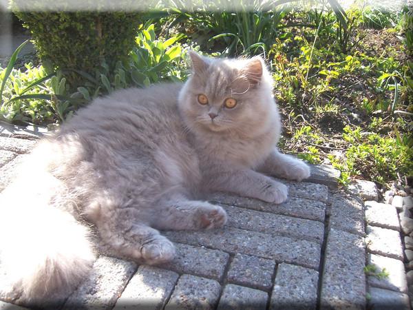 Хайлендер в саду фото
