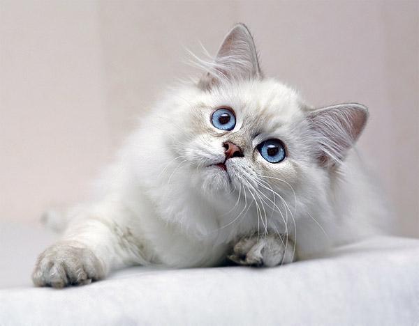 Котенок Хайлендер фото