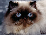 Himalayan/Colorpoint Persian face