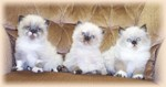 Himalayan/Colorpoint Persian kittens