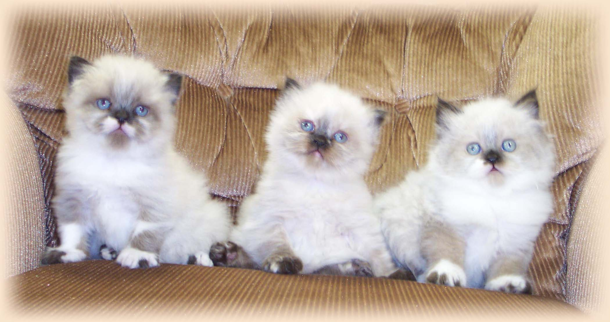 Himalayan Colorpoint Persian kittens photo and wallpaper