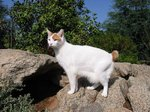 Japanese Bobtail in nature