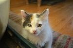 Japanese Bobtail kitten