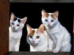 Japanese Bobtail kittens