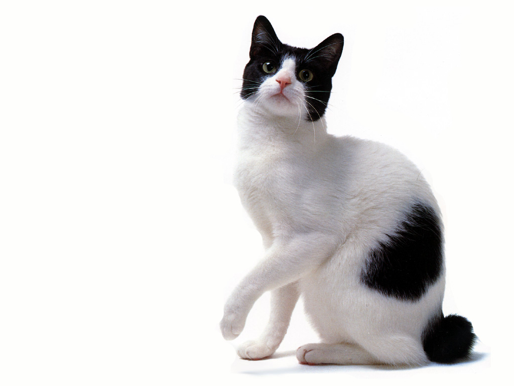 Japanese Bobtail portrait wallpaper